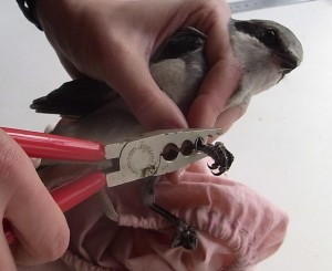 Ringing a Great Grey Shrike