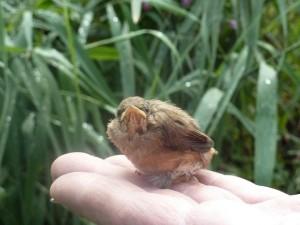 Reed Warbler fledgling