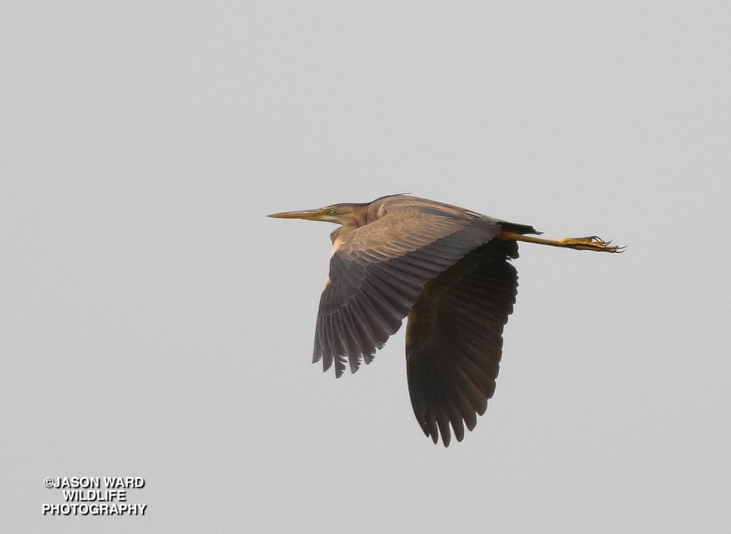 Purple Heron (Jason Ward)