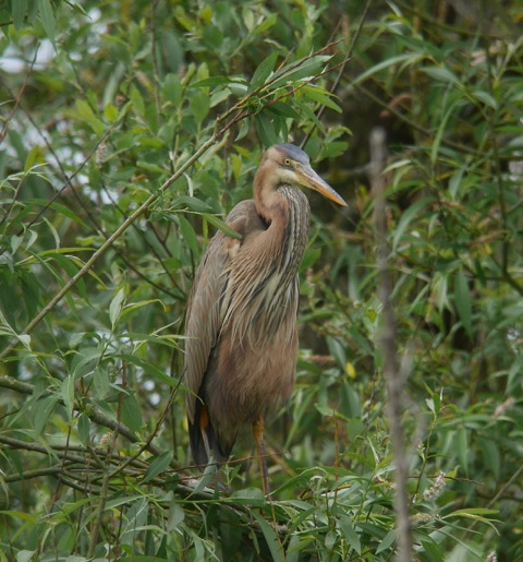 Purple Heron (Mike Illett)