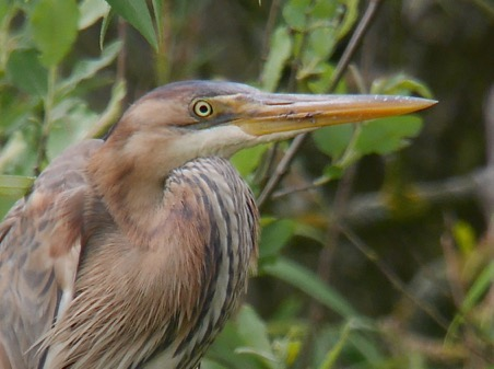 Purple Heron (Mike Ilett)