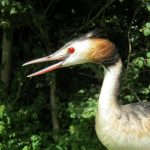great-crested-grebe-600