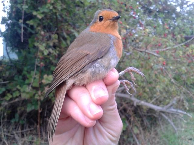 Alan the Robin in the hand