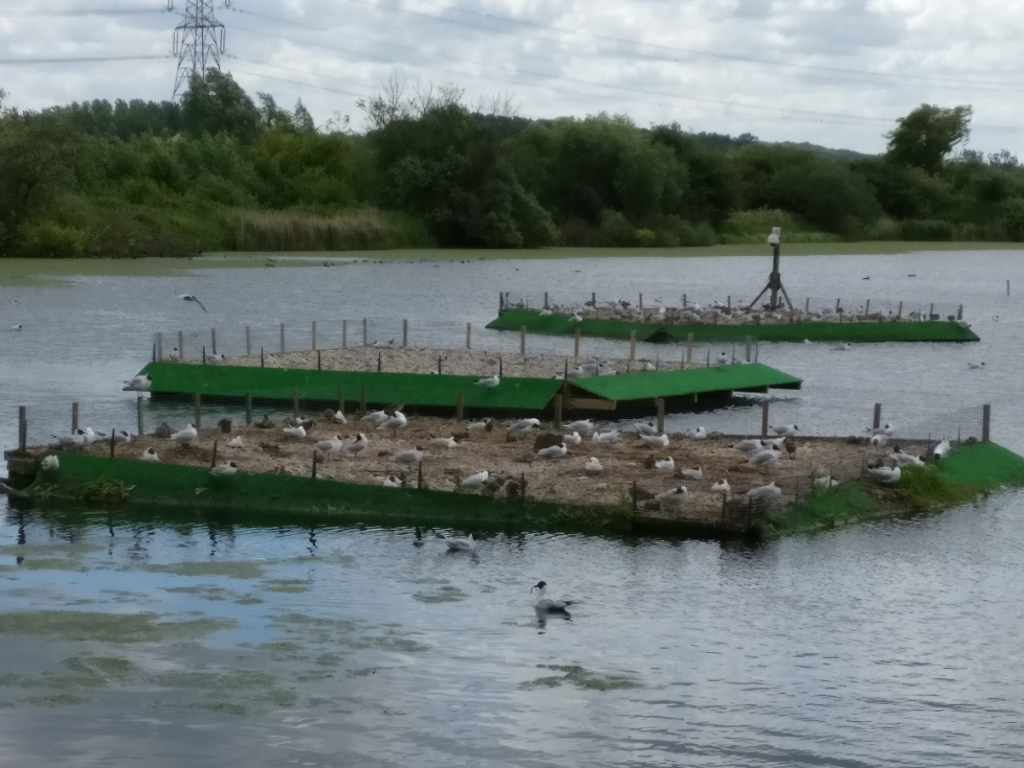 Black-headed Gull colony rafts