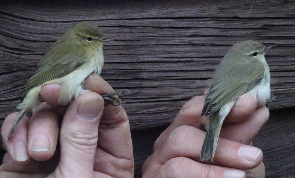 Chiffchaff collybita and tristis races