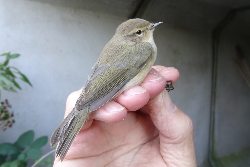 British Chiffchaff ('collybita' race) in Autumn after post-juvenile moult