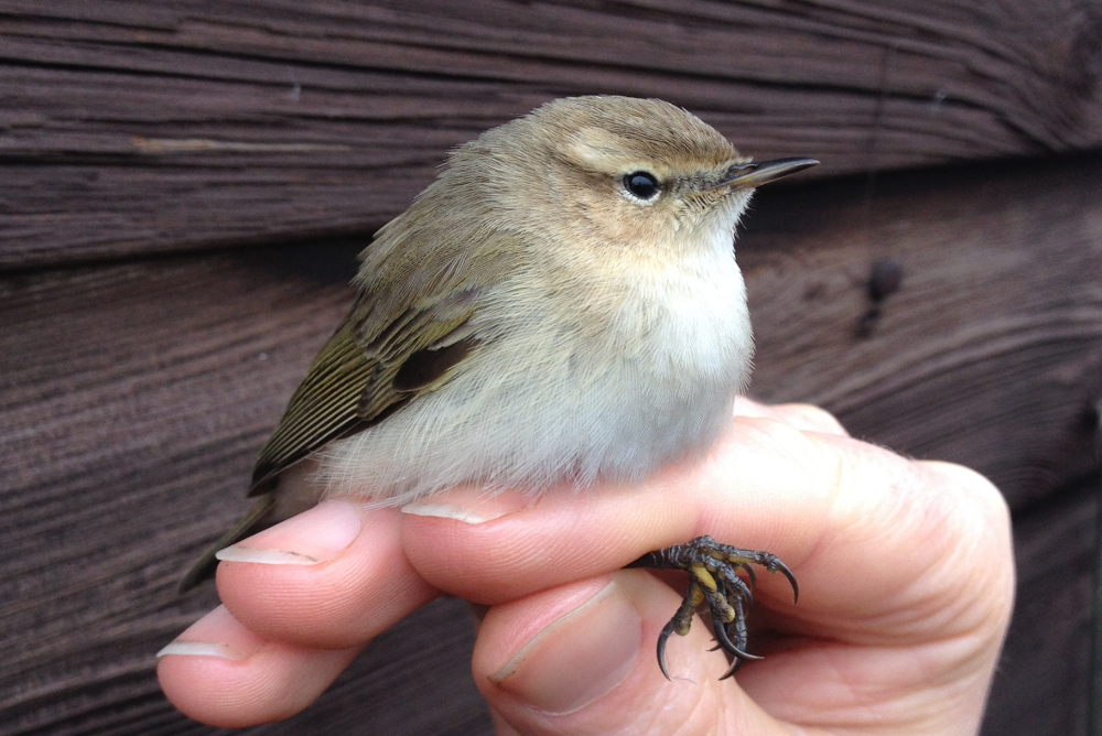 Siberian Chiffchaff 'tristis' 7th Jan 2017 proved by DNA analysis