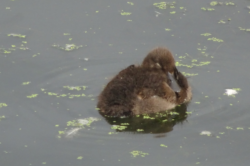 Tufted Duckling