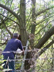 Checking a Sparrowhawk nest
