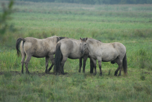 Konik Ponies in the First Meadow