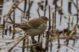 Water Pipit at Rye Meads